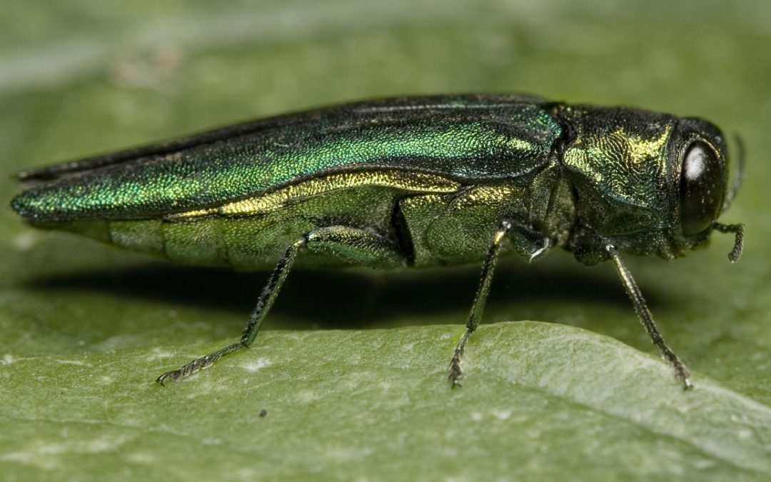 New Project to Use Drones for Emerald Ash Borer Research